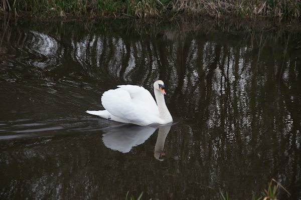 Canal Swan