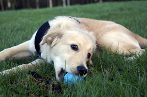 Train your puppy to play fetch by teaching let go first